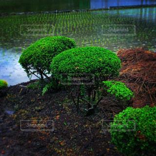 小さな木と田んぼの写真・画像素材[1694401]