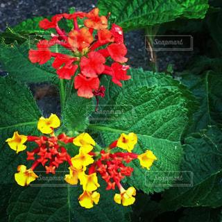 赤い花と黄色い花の写真・画像素材[1696345]