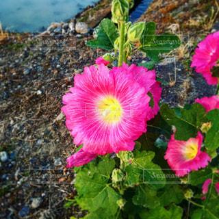 ピンクの花の写真・画像素材[1696356]