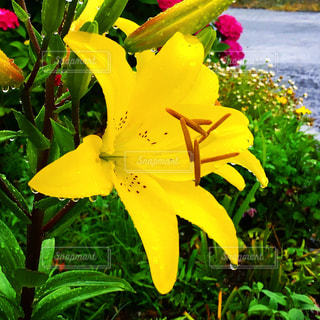 黄色の花の写真・画像素材[1696359]