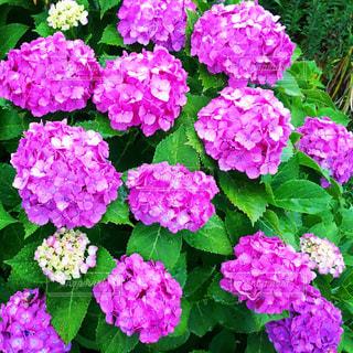 紫の花のアップの写真・画像素材[1696360]