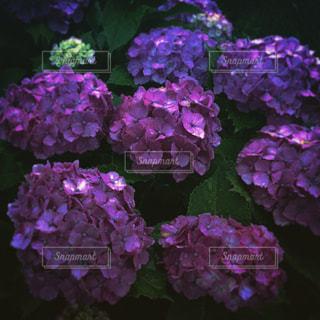 近くに紫の花のアップの写真・画像素材[1696361]