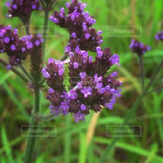 紫の花のアップの写真・画像素材[1696362]