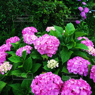 紫陽花の写真・画像素材[1696363]