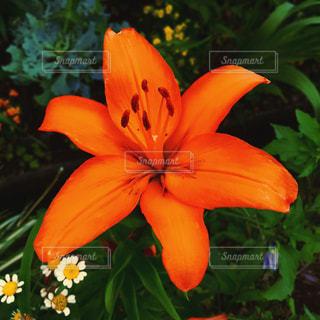 オレンジの花のアップの写真・画像素材[1696364]