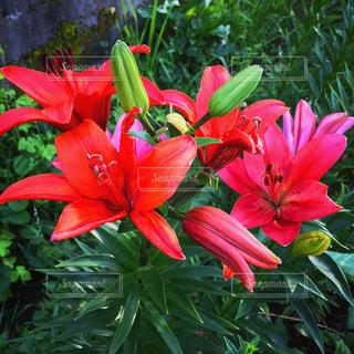 赤い花の写真・画像素材[1696557]