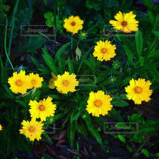 黄色の花の写真・画像素材[1696559]