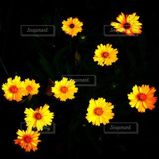 黄色の花で一杯の写真・画像素材[1696560]