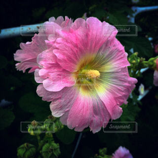 近くの花のアップの写真・画像素材[1696561]