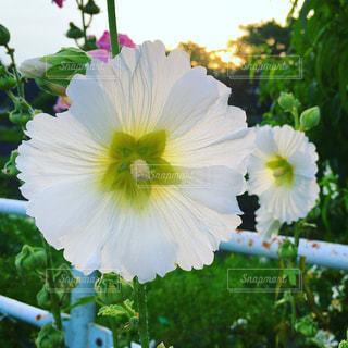白い花のアップの写真・画像素材[1696562]