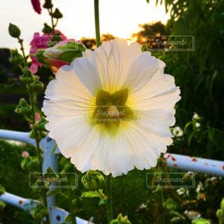 白い花のアップの写真・画像素材[1696563]