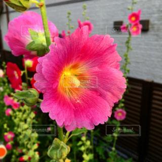 ピンクの花のアップの写真・画像素材[1696564]
