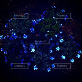 青い花の写真・画像素材[1696594]