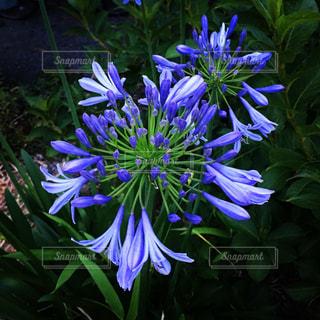 紫色の花の写真・画像素材[1696597]