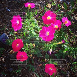 ピンクの花の写真・画像素材[1696598]
