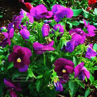 紫の花のアップの写真・画像素材[1696599]