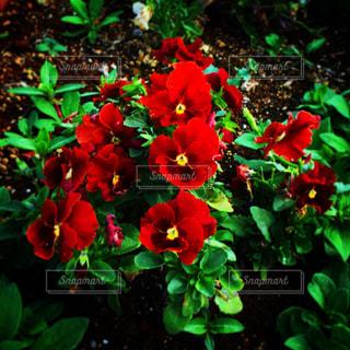 赤い花の写真・画像素材[1696600]