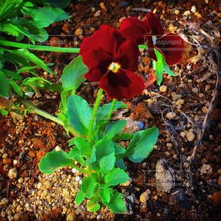 赤い花の写真・画像素材[1696601]