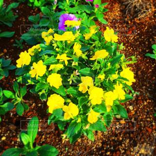 黄色い花の写真・画像素材[1696602]