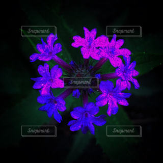 紫の花の写真・画像素材[1696619]