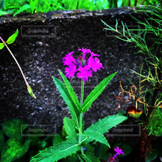 紫の花の写真・画像素材[1696620]