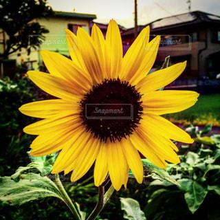 黄色の花の写真・画像素材[1696622]
