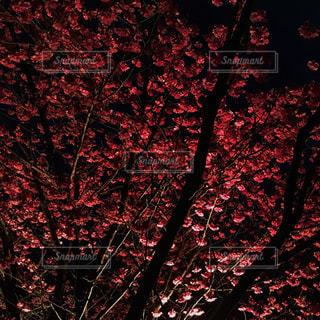 夜の梅の写真・画像素材[1847050]