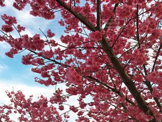 梅と空の写真・画像素材[1850852]