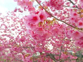 梅の木の写真・画像素材[1853307]