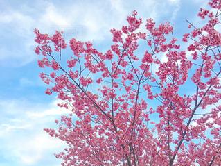梅の木と青空の写真・画像素材[1859541]