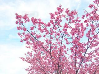 空と梅の木の写真・画像素材[1859542]