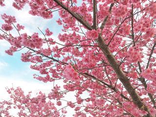 近くの梅の木のアップの写真・画像素材[1865983]
