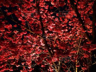 夜の梅の木の写真・画像素材[1867776]