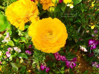 近くの花のアップの写真・画像素材[1868308]