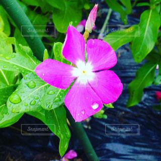 雨粒と花の写真・画像素材[1959453]