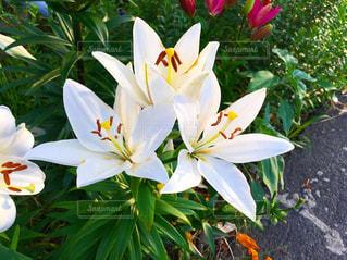 白い花の写真・画像素材[1984811]