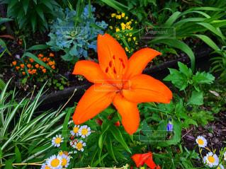 オレンジの花の写真・画像素材[1984813]