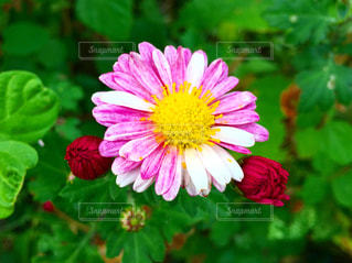 ピンクの花の写真・画像素材[1985363]