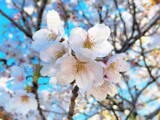 桜の花の写真・画像素材[2035333]