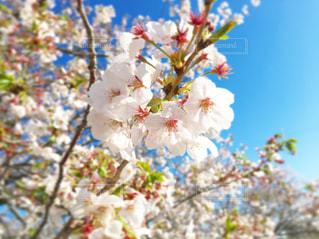 桜の花の写真・画像素材[2053057]