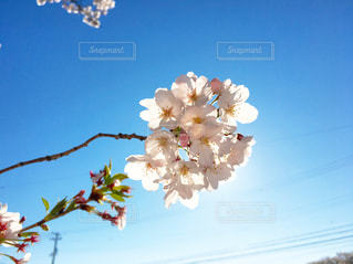 桜の花の写真・画像素材[2053059]
