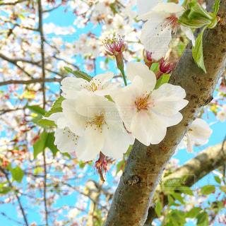 桜の花の写真・画像素材[2053060]