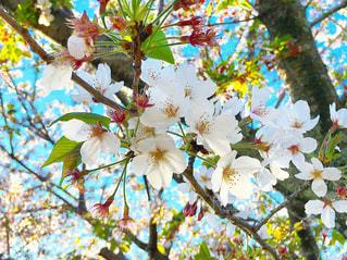 桜の花の写真・画像素材[2069646]