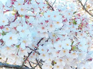 桜の花の写真・画像素材[2069647]