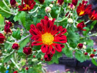 赤い花の写真・画像素材[2097149]
