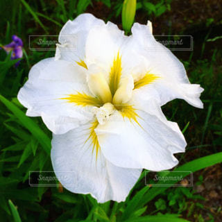 白い花の写真・画像素材[2182279]