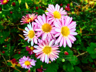 ピンクと黄色いの花の写真・画像素材[2190263]