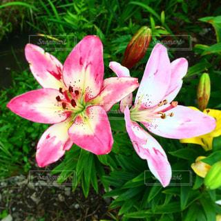 ピンクの花の写真・画像素材[2227417]