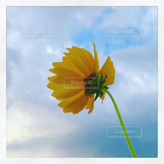 下から見上げた黄色い花と空の写真・画像素材[2239350]