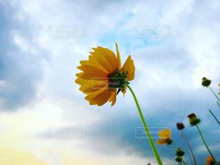 下から見上げた黄色い花と空の写真・画像素材[2239352]